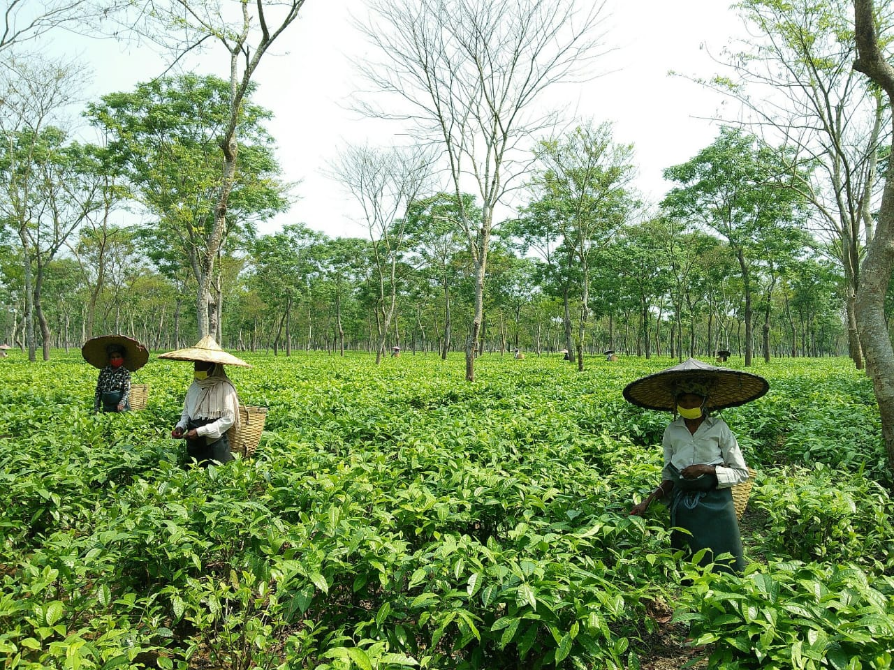 Tea gardens in Assam