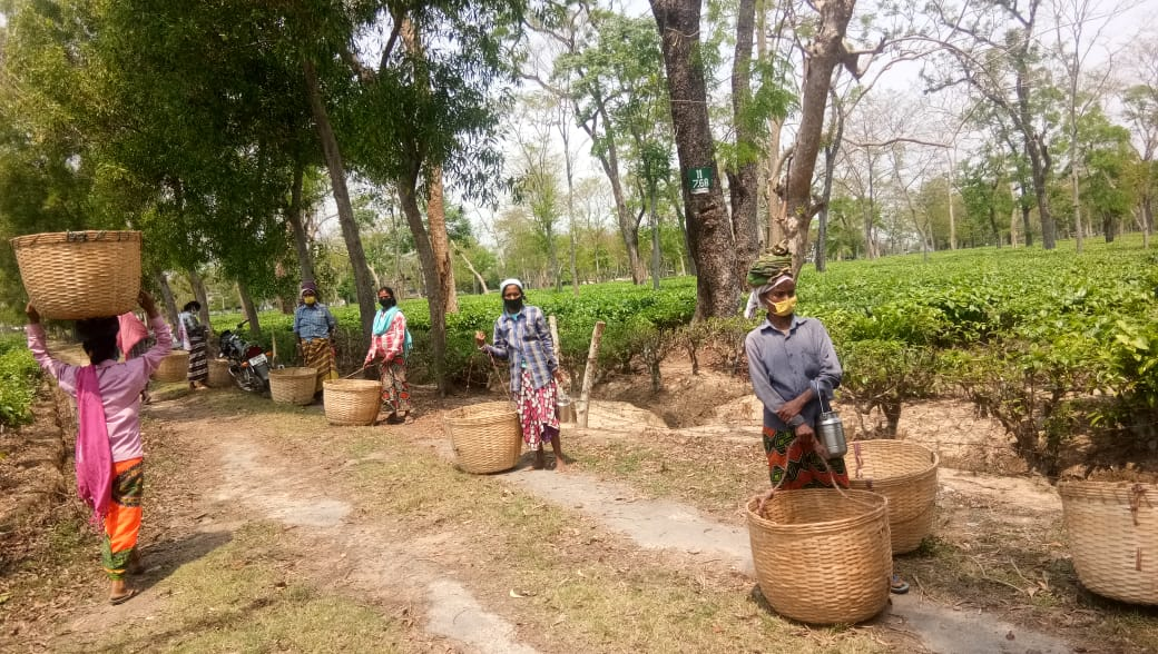 Tea gardens in Assam partially started from saturday.