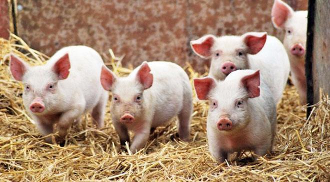 Assam government bans on sale of pork meat