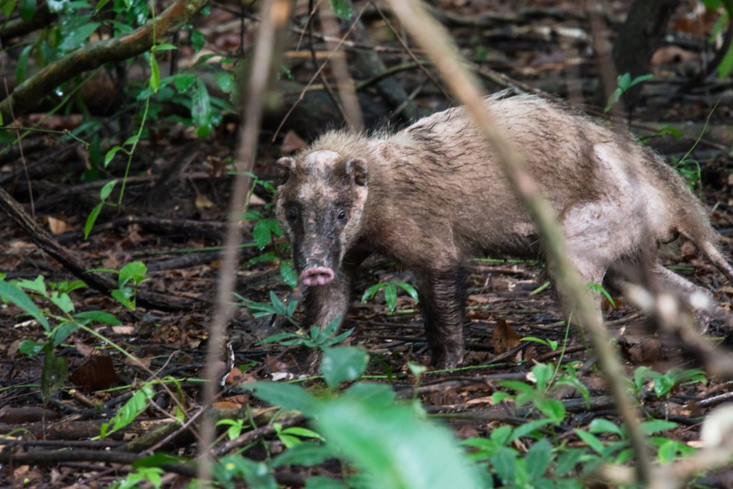 Hog Badger cubs rescued in Tripura