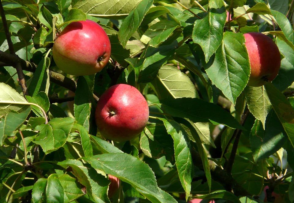 Tripura Bamutia boy grows apples in own land