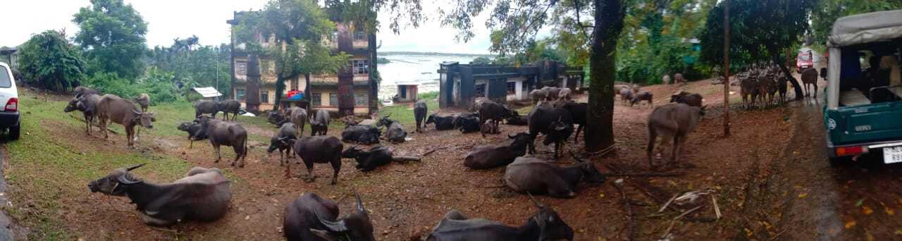 BSF seized 118 cattle in Meghalaya