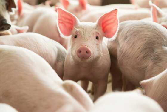 Mizoram's Siaha achieves success in artificial insemination in pigs