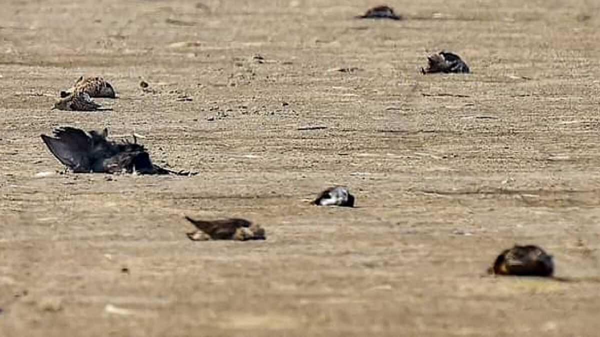Bird Flu Virus: Over 250 crows found dead in Rajasthan