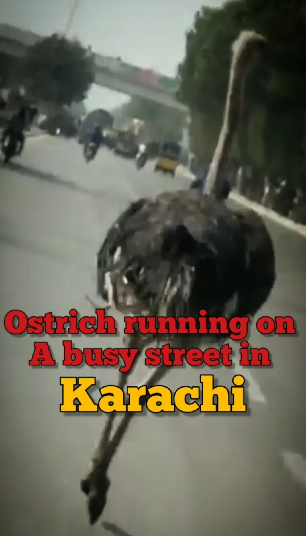 You can't miss run this video of an Ostrich running on a busy street in Karachi