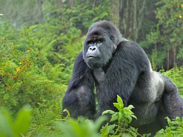 'King Kong' test positive for coronavirus at San Diego park in the US