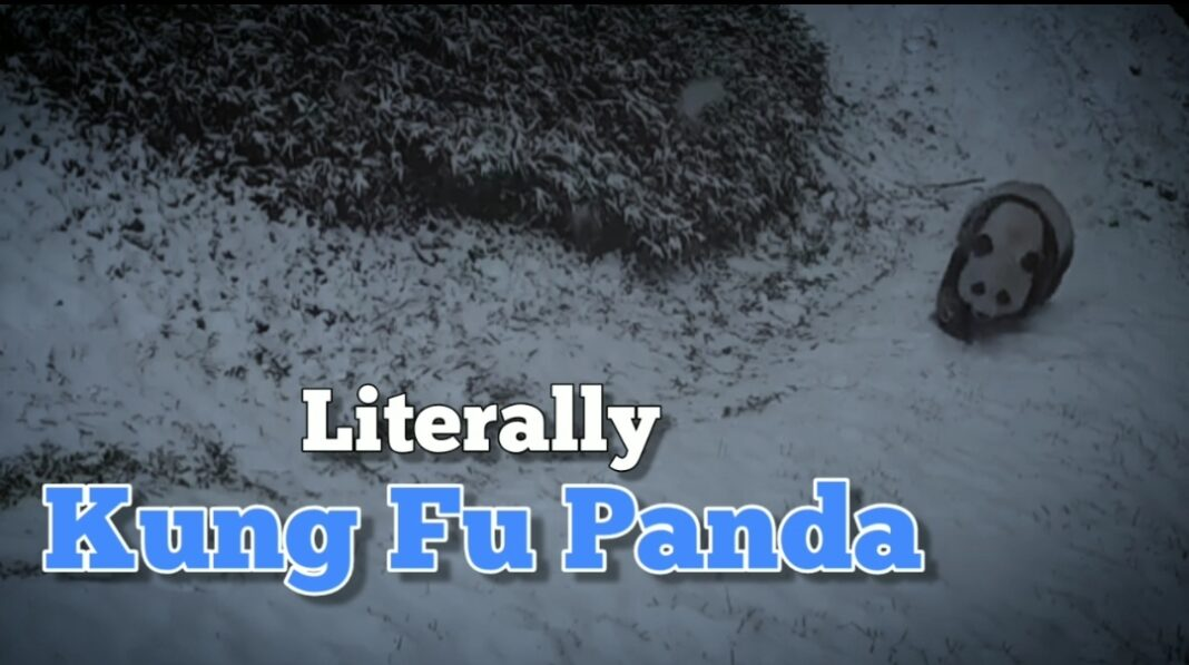 Pandas playing in the snow is pure joy