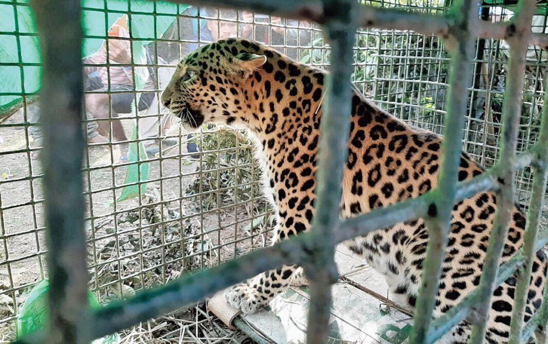 Assam: Leopard captured at Bokpara tea estate